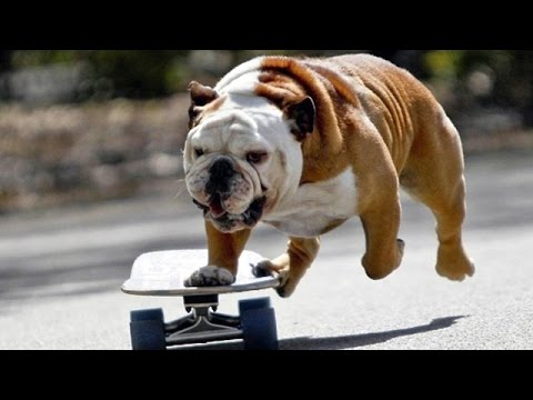pitbull dog on skateboard